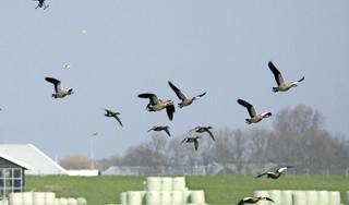 Drones verjagen ganzen in de Starnmeer: 'Je merkt dat ze het gebied gaan mijden' [video]