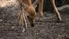 Sikaherten in het Noordhollands Duinreservaat laten zich niet schieten