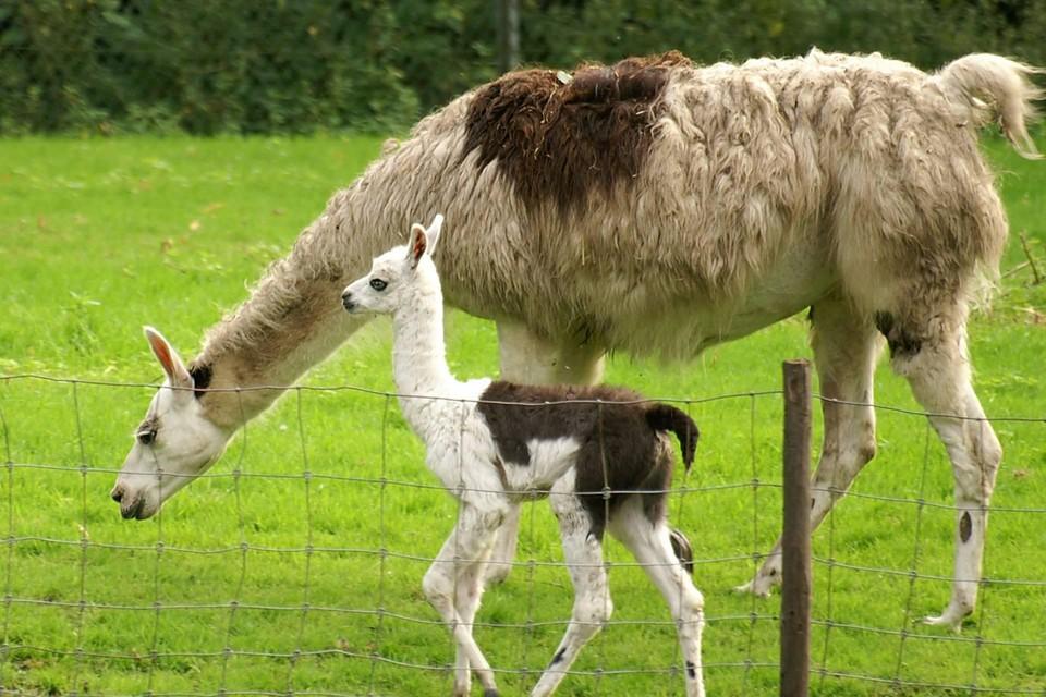 De lama's in de hertenkamp.