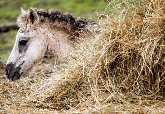 Genoeg animo voor spoeddebat konikspaarden