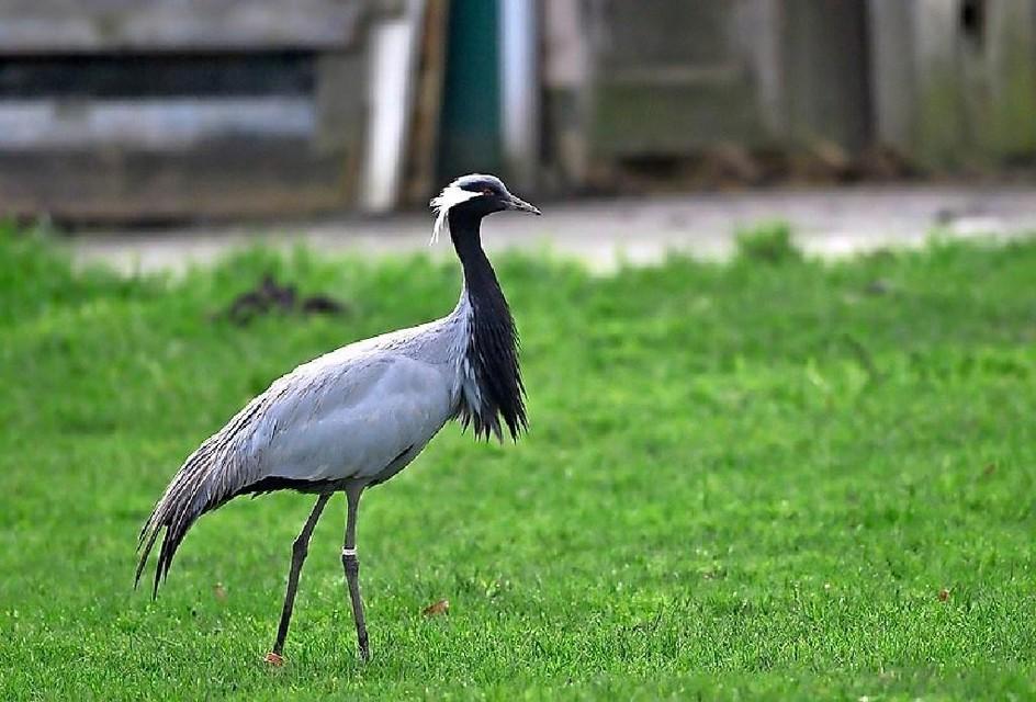 De jufferkraanvogel die natuurfotograaf Wim Kuitems uit Opperdoes vorig jaar betrapte bij het Wijzenddijkje in Oosterblokker.