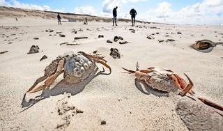 Zeepaardjes, zeesterren en zeeslangen spoelen massaal aan op de Noorzeestranden