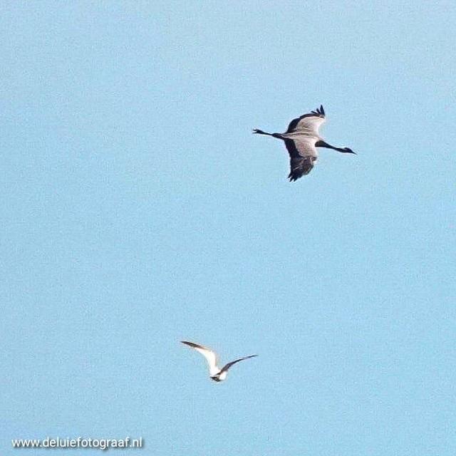 De kraanvogel in volle vlucht gefotografeerd door Yvonne Balk.