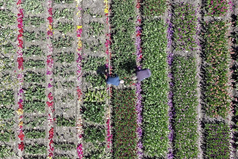 Het koppen van de tulpen vanuit de lucht.