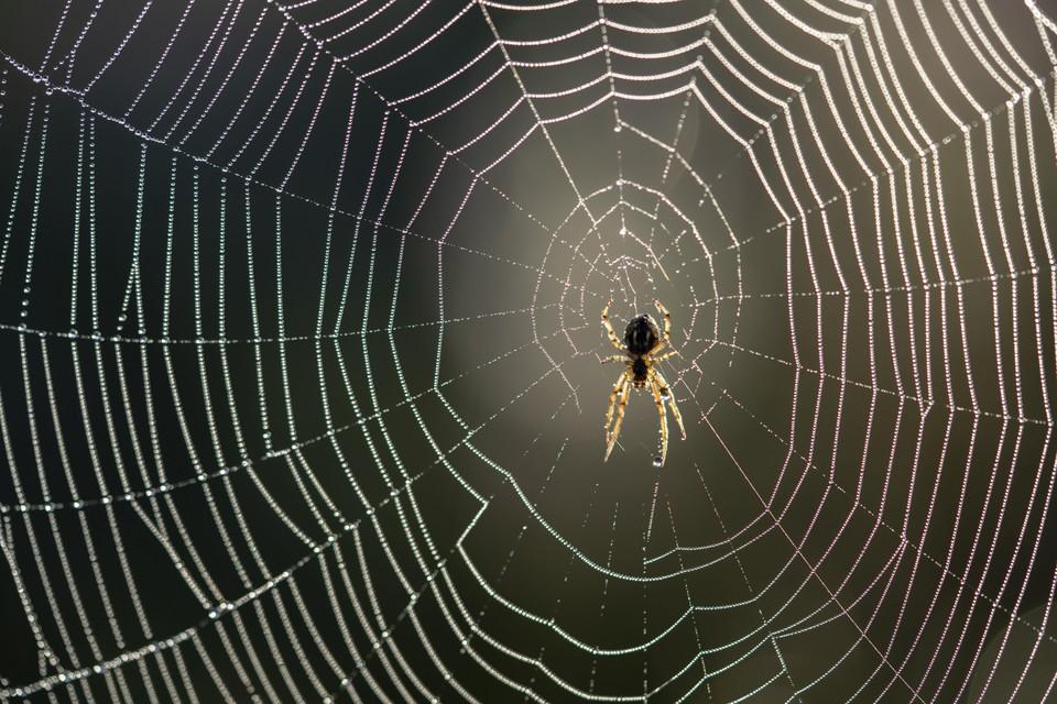 Driestreepspin in een wielweb