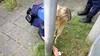 Handhavers redden gewonde egel in Purmerend