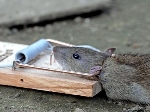 Intelligente val: Ratten in Haarlems riool met pennen doorboord en op slag gedood