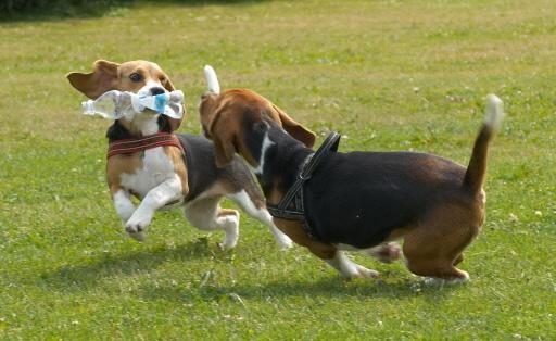 Blaricum lijnt honden en hun baasjes aan; Raadsfracties eensgezind over uitgangspunten hondenbeleid
