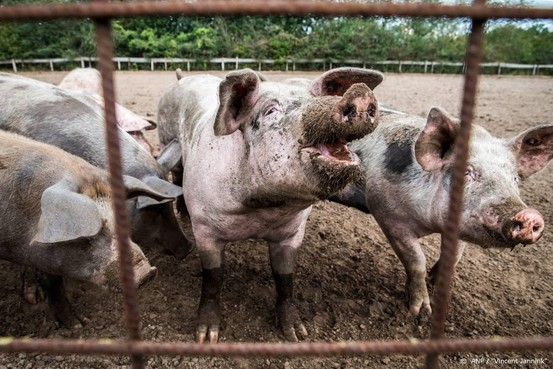 Mogelijk meer geld voor stoppende varkenshouders