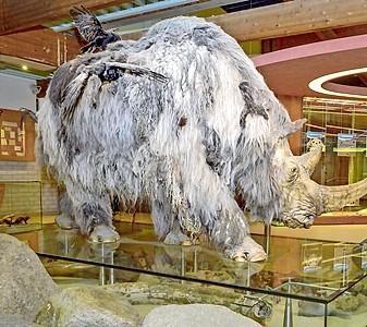 Wolharige neushoorn neemt afscheid van Ecomare, hij gaat een tijdje naar Twente