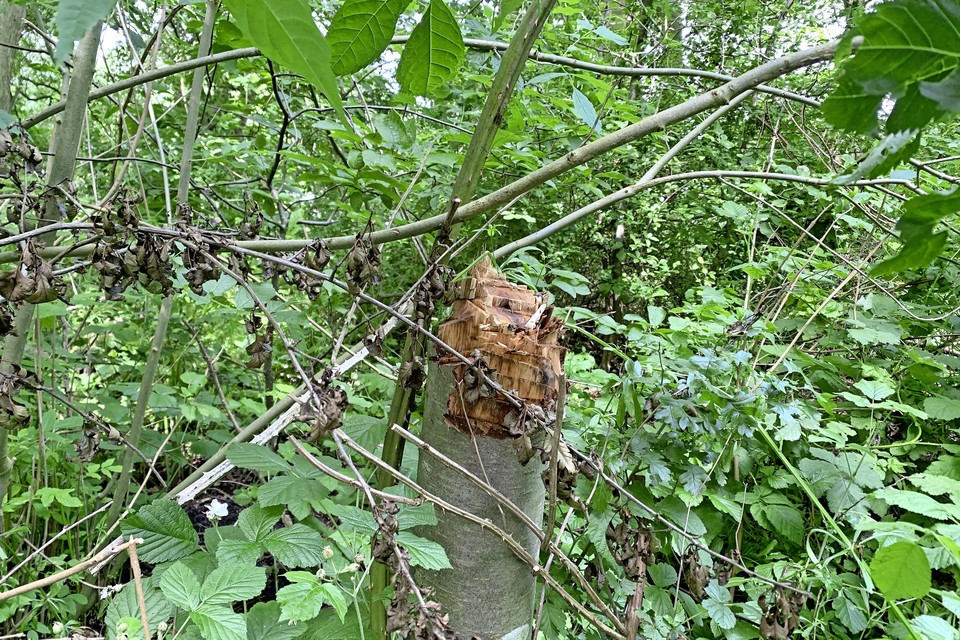Bomen werden gekapt om hout te verzamelen voor kampvuren.