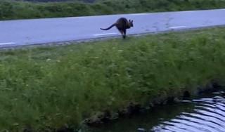 Lisserbroeker spot kangoeroe in de achtertuin: 'Wat is dat voor een grote kat, dat kan toch niet?' [video]