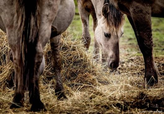 Konikpaarden blijven waar ze staan