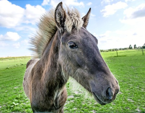 Eenigenburger paarden zijn stoer en knuffelbaar