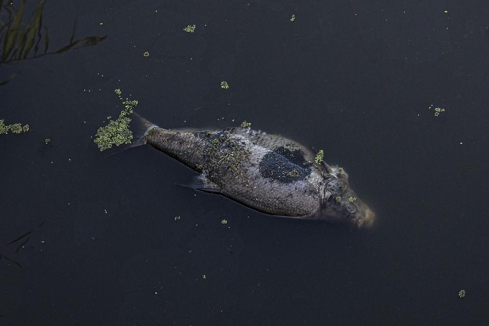 Er drijven nog enkele vissenkadavers in het water.