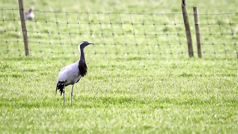 Geen twijfel mogelijk, zeggen kenners. Dit is een jufferkraanvogel.