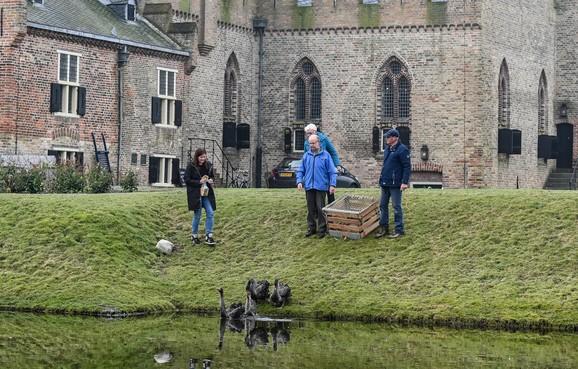 Zwarte zwanen in kasteelgracht Medemblik