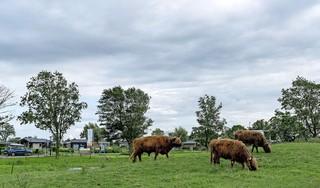 Schotse hooglanders op terrein van Europarcs Resort aan de dood ontsnapt. De dierenarts was besteld, maar weigerde de spuit te geven