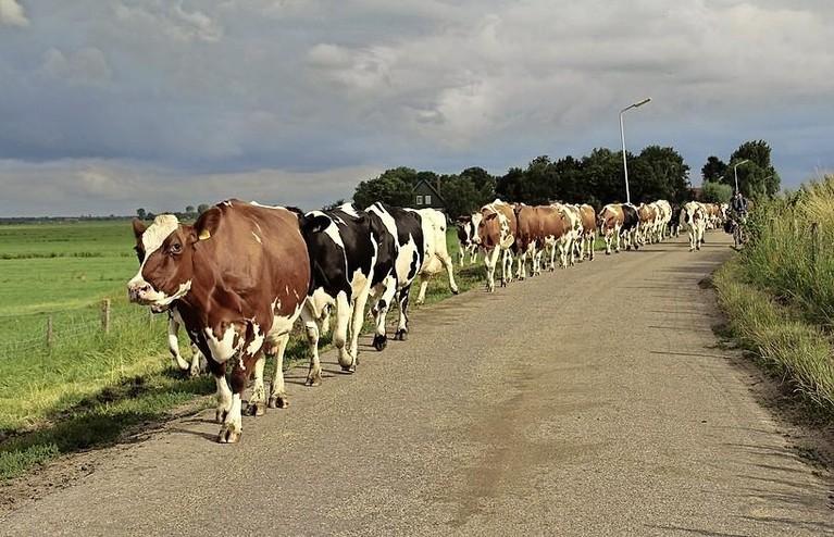 Kilometers omrijden via Warder dreigt voor Edamse melkveehouder Dirk Schreuder: 'Dit zou de nekslag voor ons bedrijf betekenen'