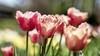 Bolbloemenbedrijf De Hout wil verblijf voor dertig arbeidsmigranten