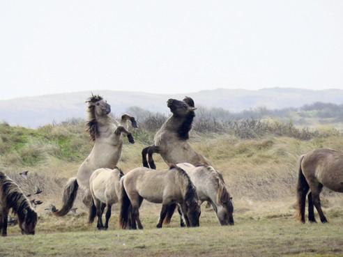 Jonge actievoerders sturen gratieverzoek voor konikpaarden op Texel: 'Misschien heeft de Koning nog plek op zijn landgoed?'
