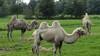 Kamelen logeren in Wijdewormer: 'Ze zijn hartstikke aaibaar'