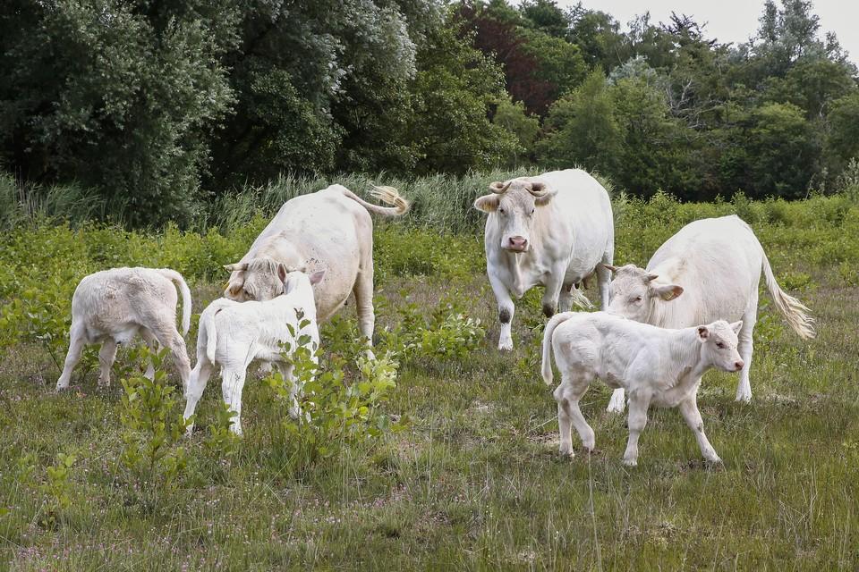Er zijn inmiddels drie vrouwelijke kalfjes geboren. Nieuwe hoop voor aanwas voor de Hoorneboeg: kudde.