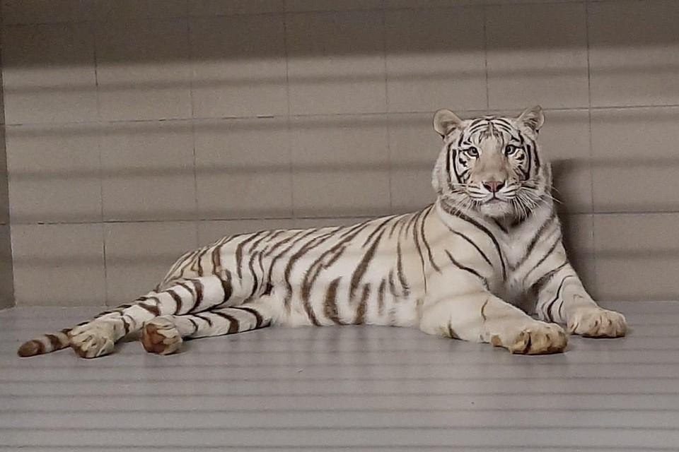 De witte tijger Muba kon gered worden vanuit een hotelresort in Slowakije.